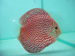 beerfish
