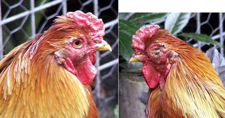 Kết quả hình ảnh cho Bệnh đậu gà bánh trái