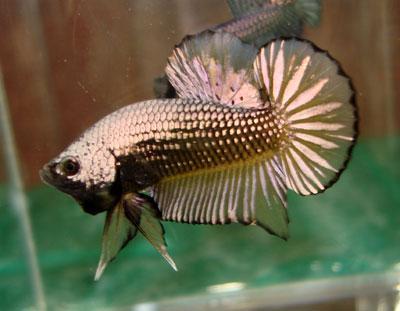 Hội Chơi Cá Betta-Guppy [cá betta kiểng-cá đá(chọi)-7Màu]